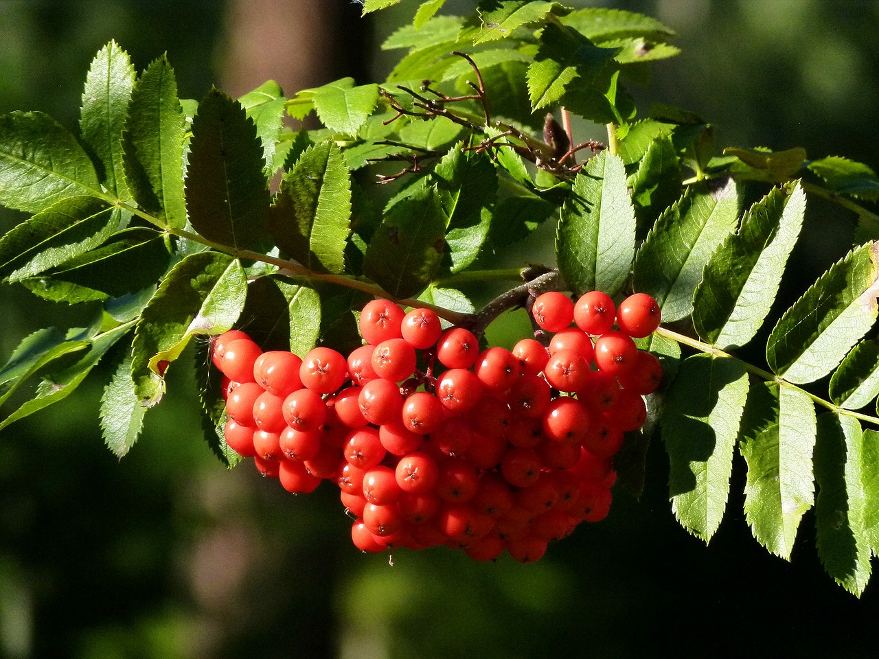 rowan berries rowan berry free photo
