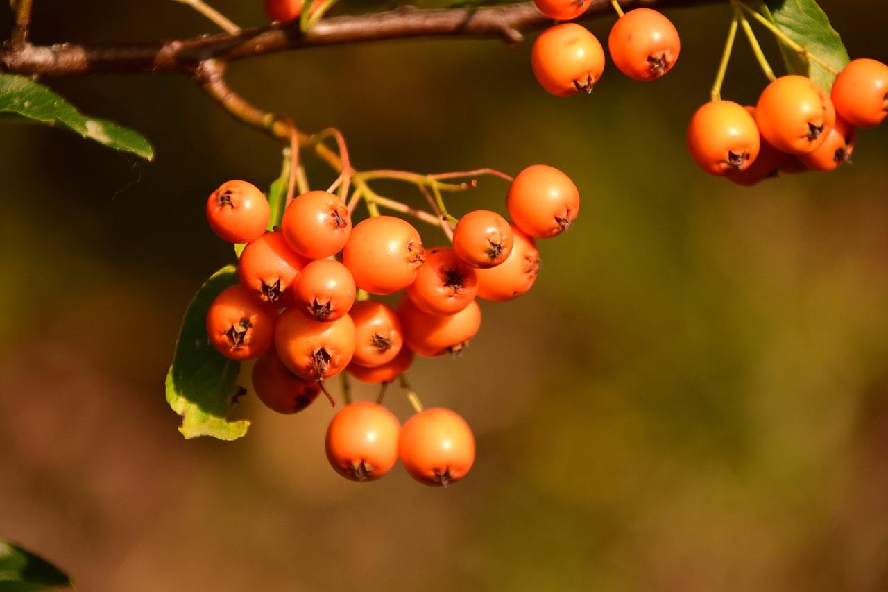 Rowanberries Orange Berries Fruits Bush Free Image From Needpix Com