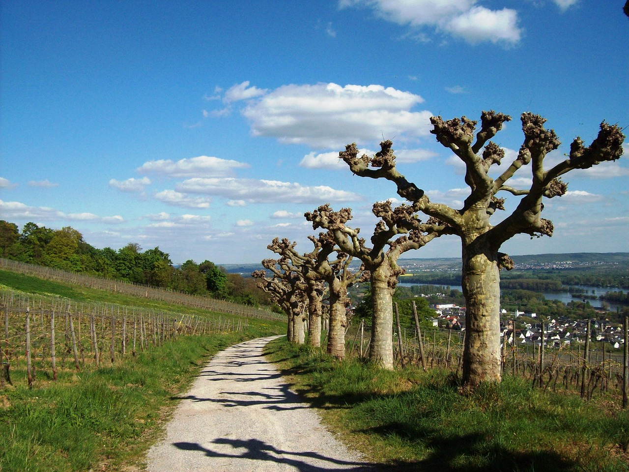 rüdesheim am rhein plane trees vineyards free photo