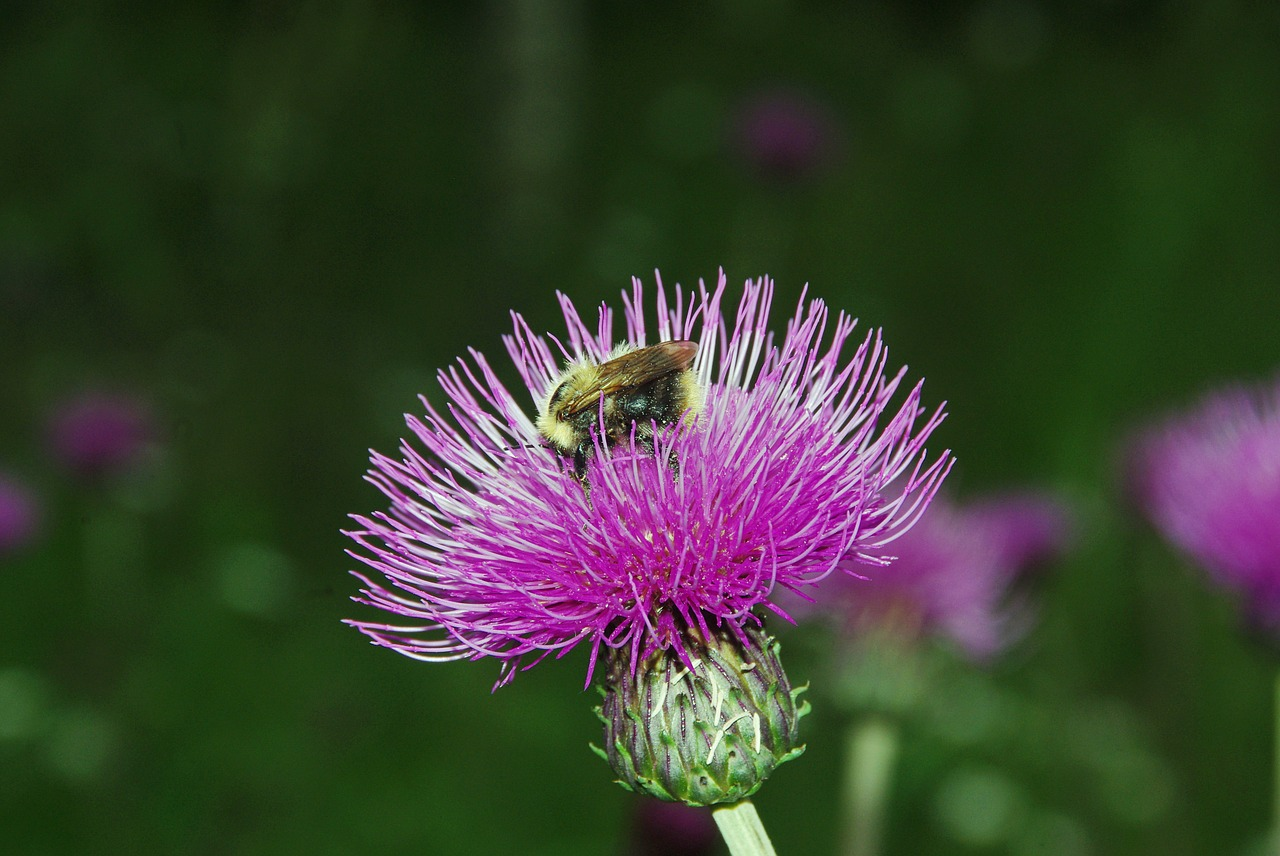 thistle bourdon pollination free photo