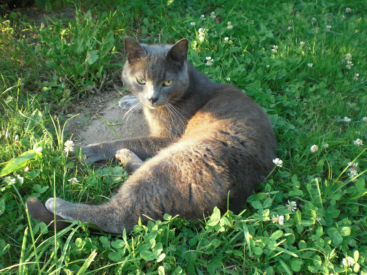 russian blue cat tomcat in free cat in the grass free picture