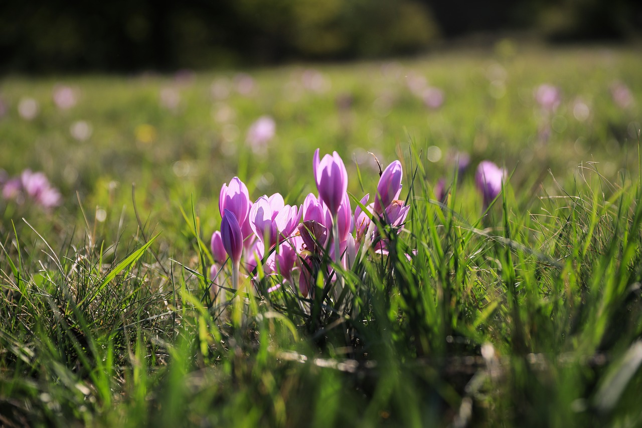 saffron,legally protected,flower,autumn crocus,fall flowers,pink flower,wild flower,plant,nature,field,meadow,agra plant,meadow flower,purple flower,free pictures, free photos, free images, royalty free, free illustrations, public domain