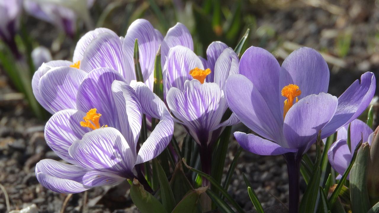 Saffron Crocus Purple Flowers Flowering Safrany Spring Flowers