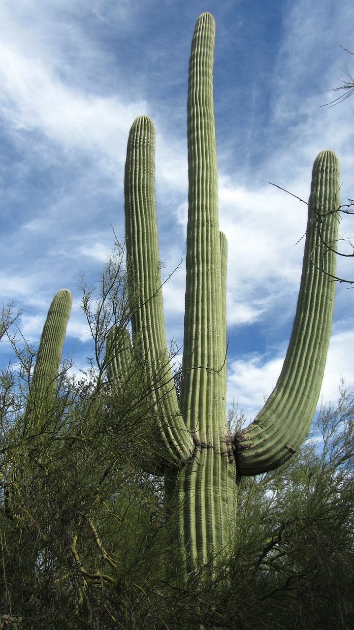 saguaro cactus arizona free photo