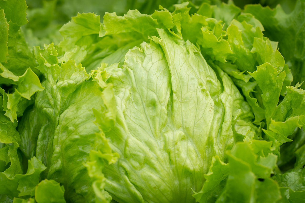 salad, head of lettuce, iceberg lettuce, healthy, raw, raw food, vegetable garden, garden, vegetables, fresh, green, horticulture, lettuce leaves, close up, vegetarian, vitamins,free pictures, free photos, free images, royalty free, free illustrations, public domain