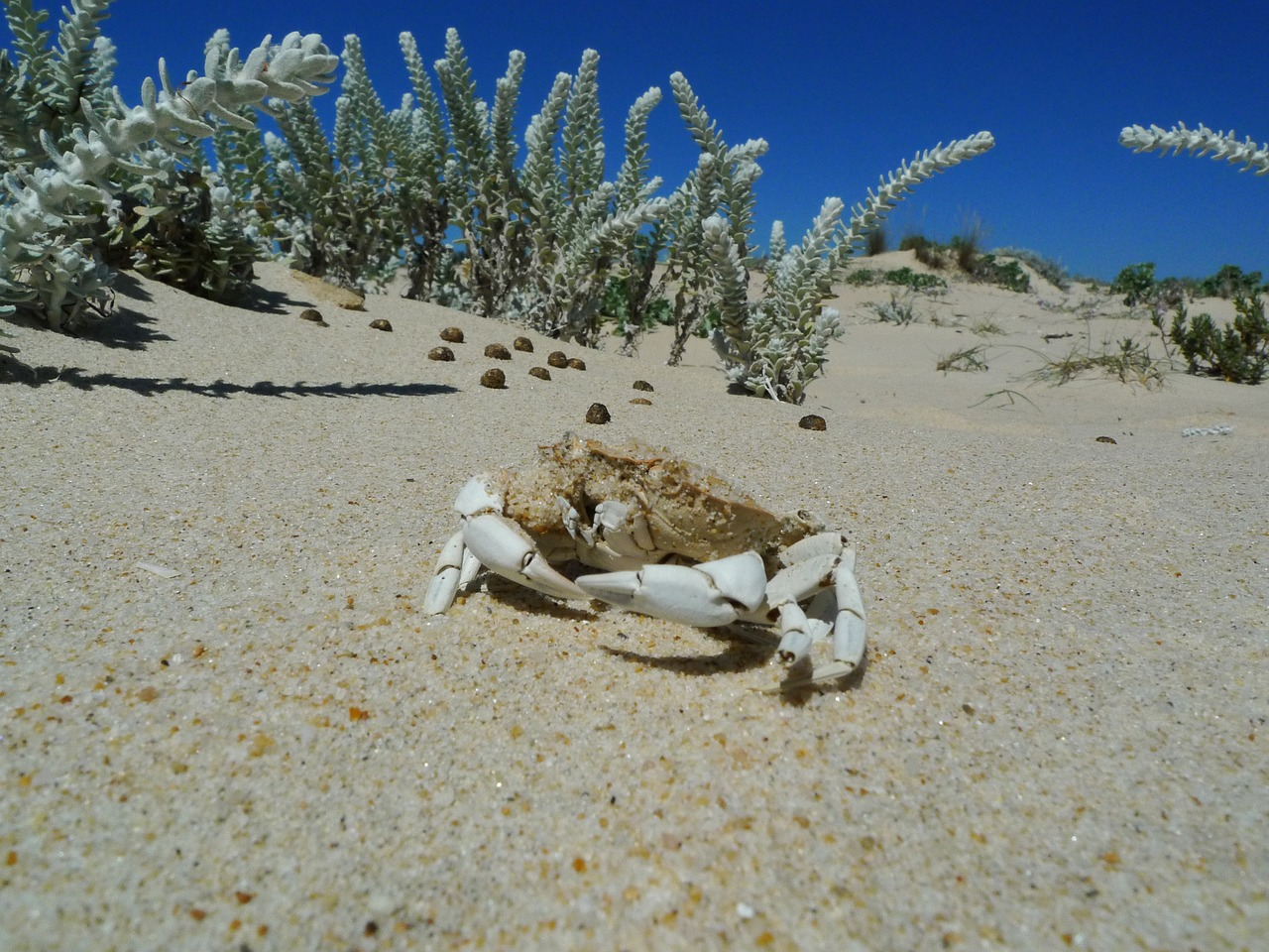 sand white crab free photo