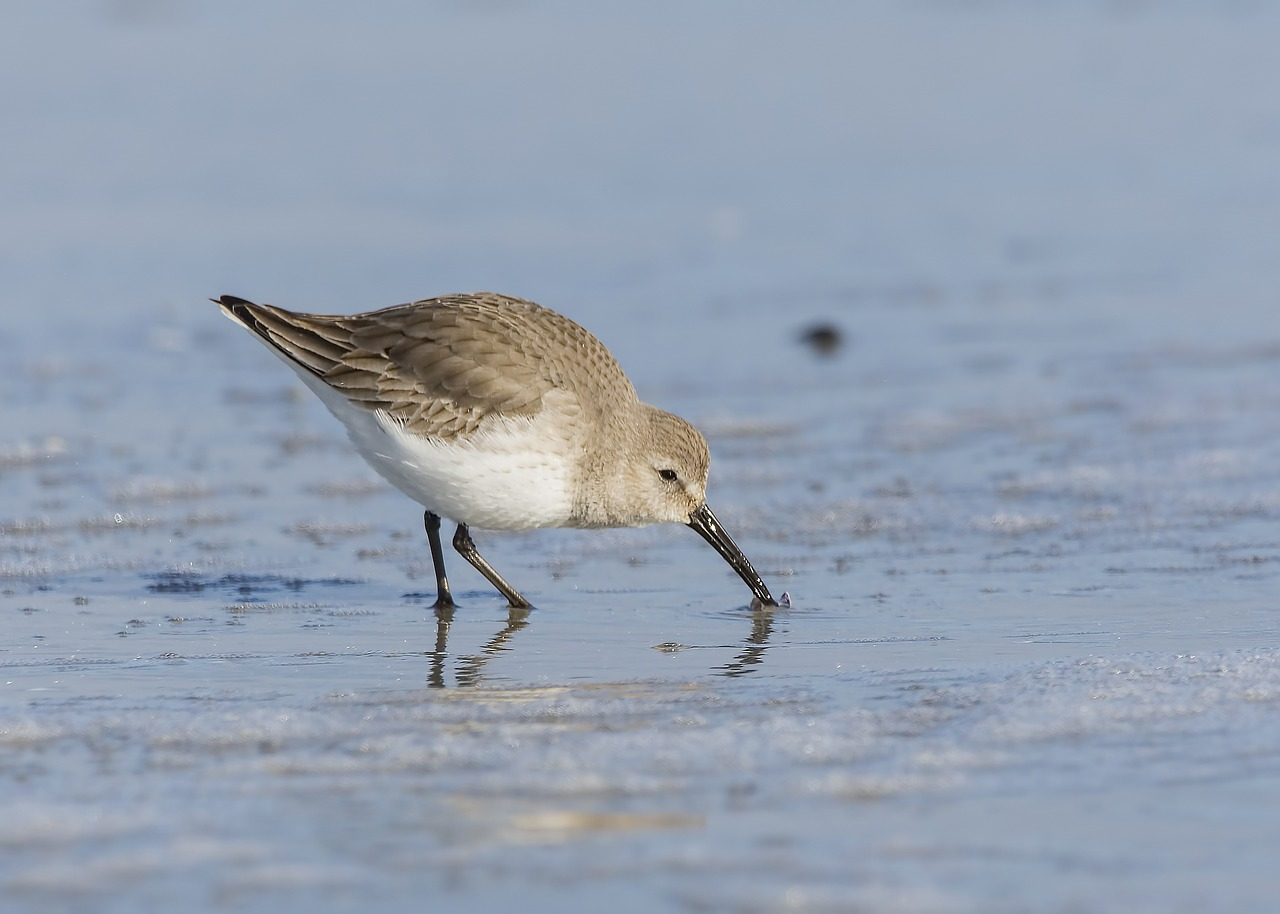 sandpiper  bird  nature free photo