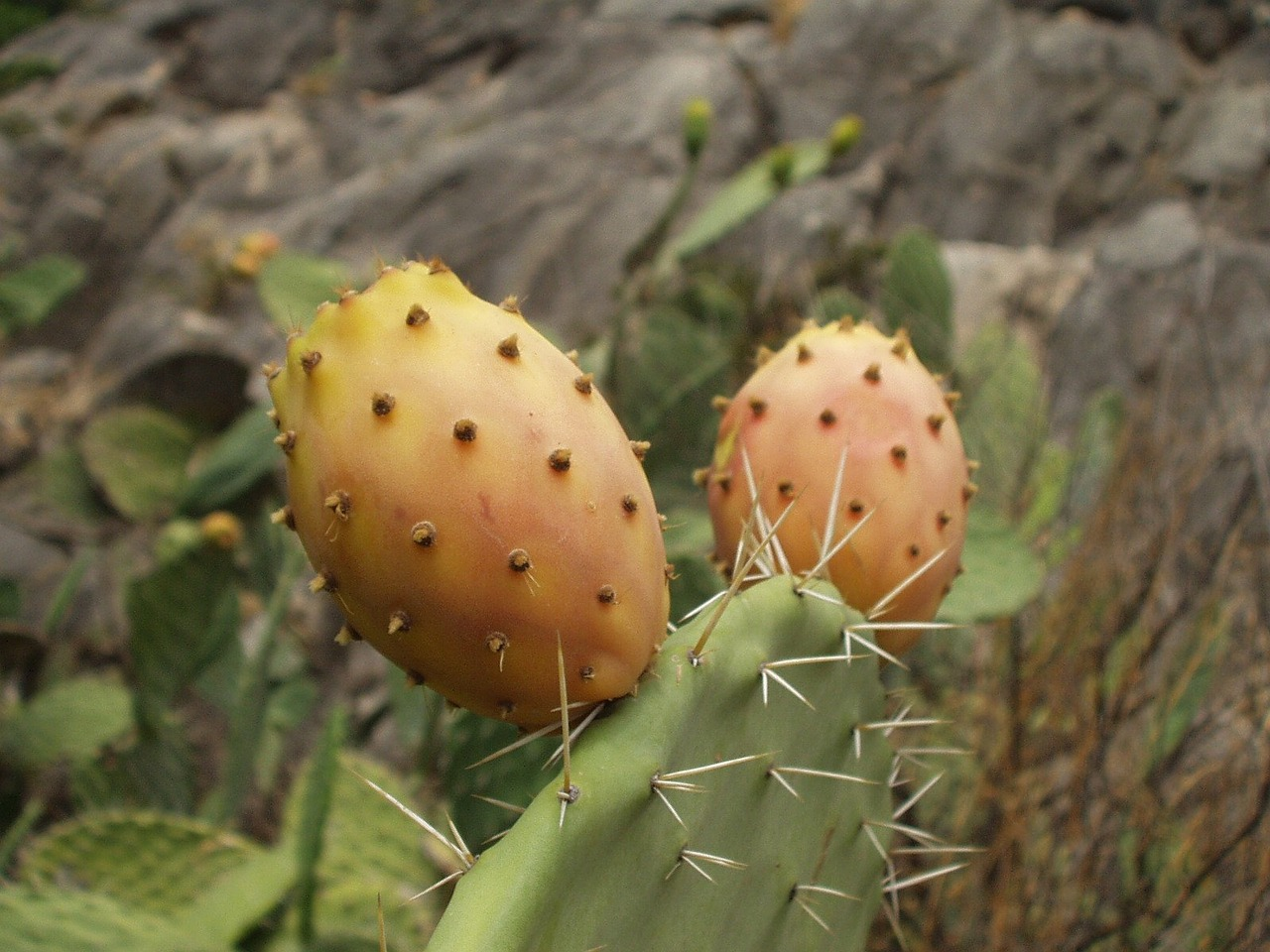 sardinia prickly pear cactus free photo