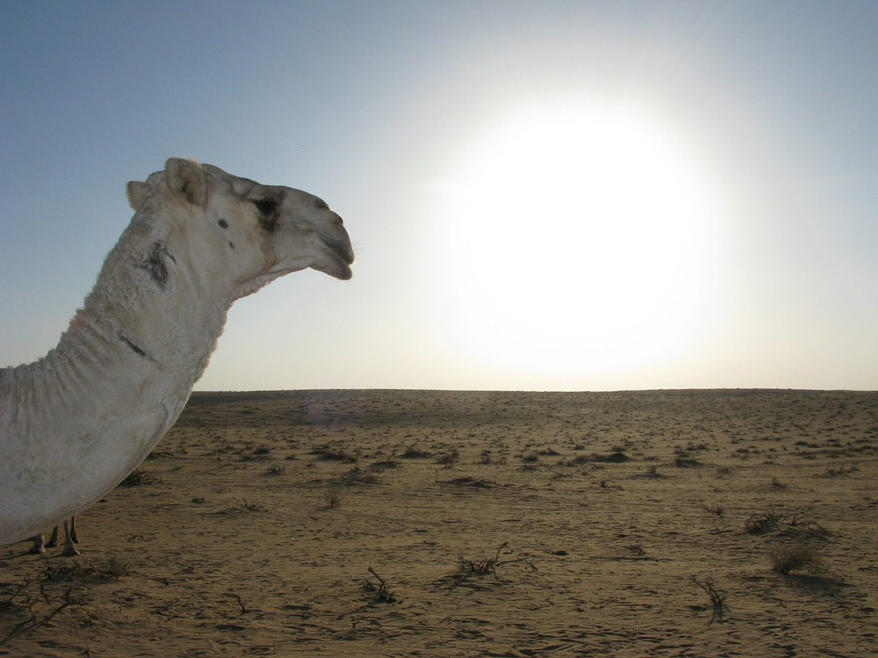 saudi arabia desert camel free photo