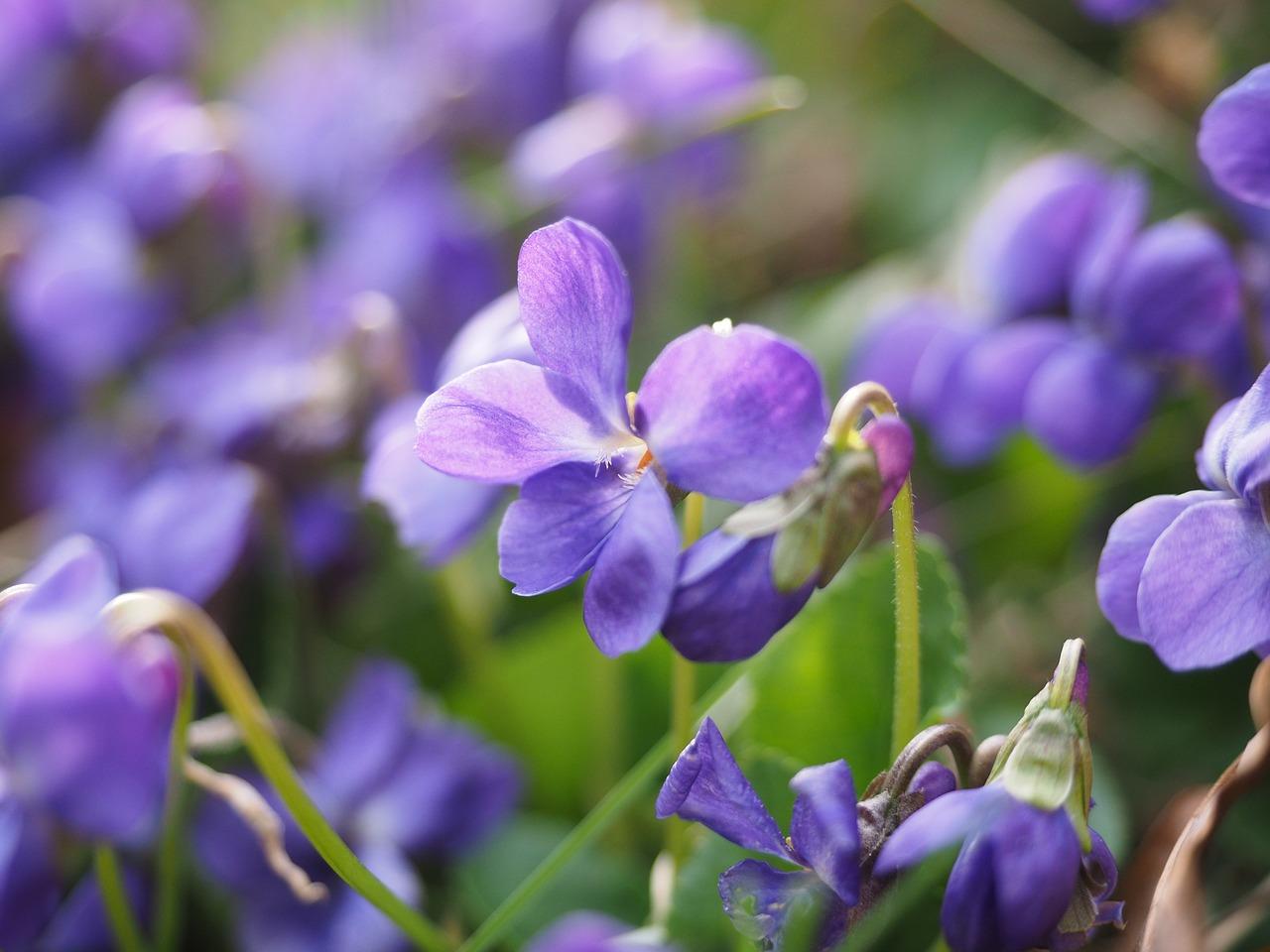 scented violets violet flower free photo