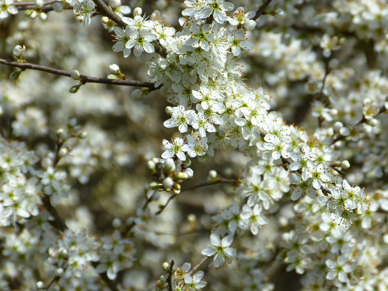 schlehe,blackthorn,prunus spinosa,schlehendorn,heckendorn,hedge,steinobstgewaechs,white,bloom,flowers,fill,splendor,white splendour,spring,free pictures, free photos, free images, royalty free, free illustrations, public domain