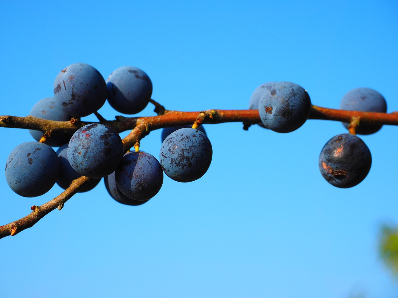 schlehe berries blue free photo