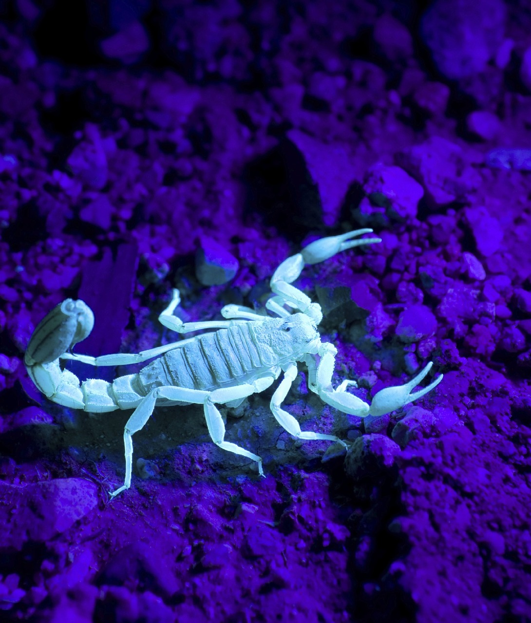 scorpion wildlife wild free photo