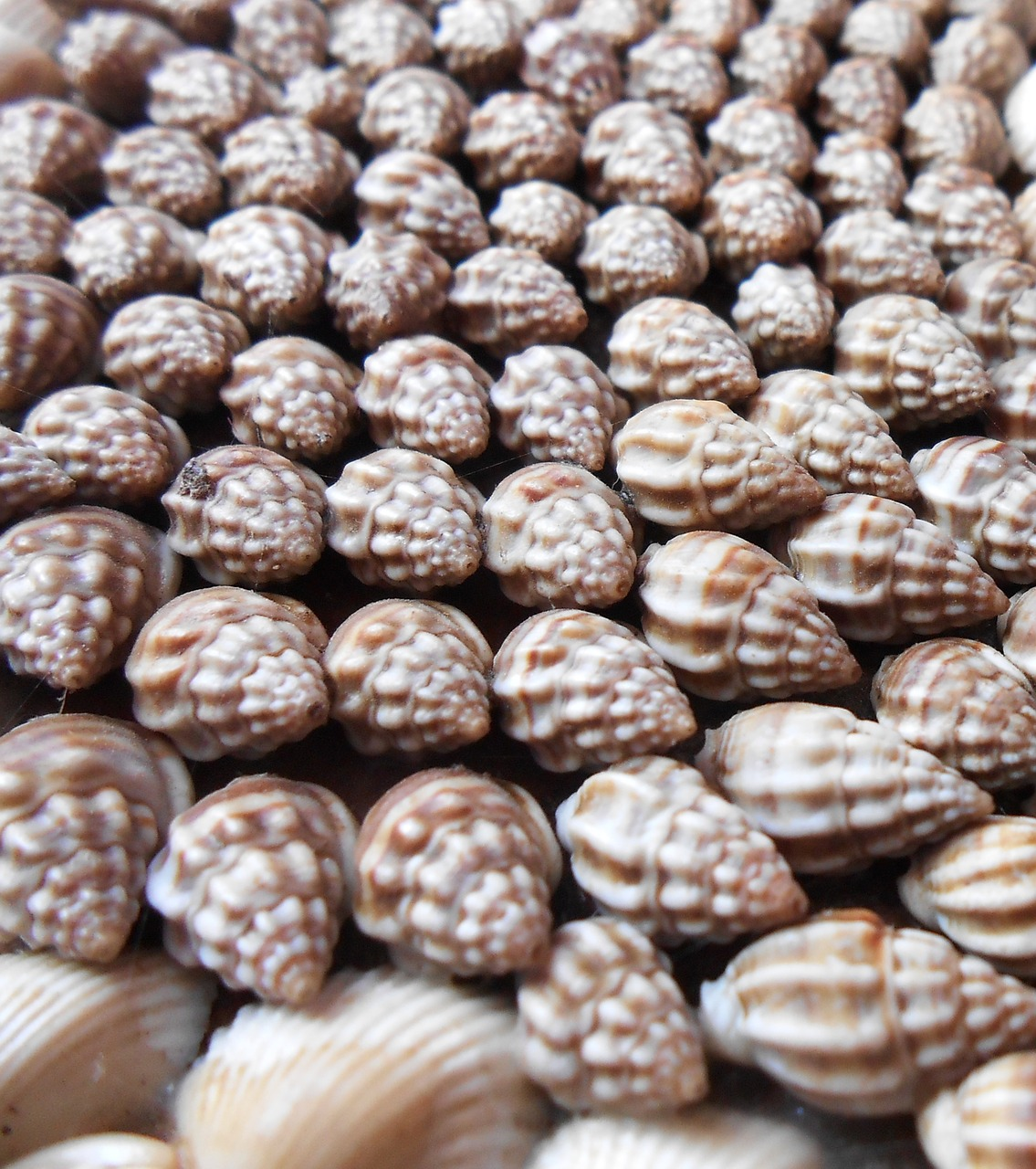 sea shells nature free photo