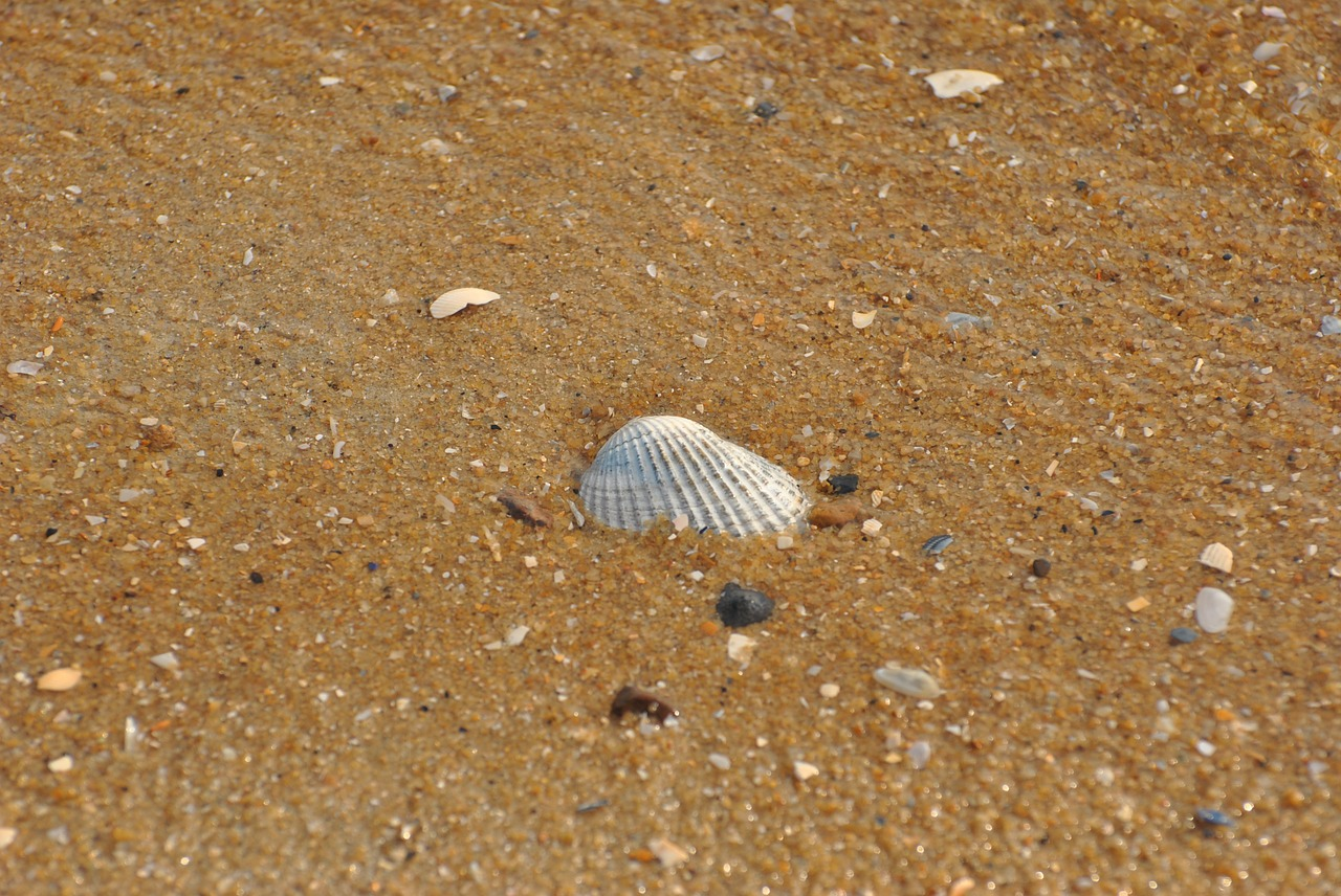 sea shell shells free photo