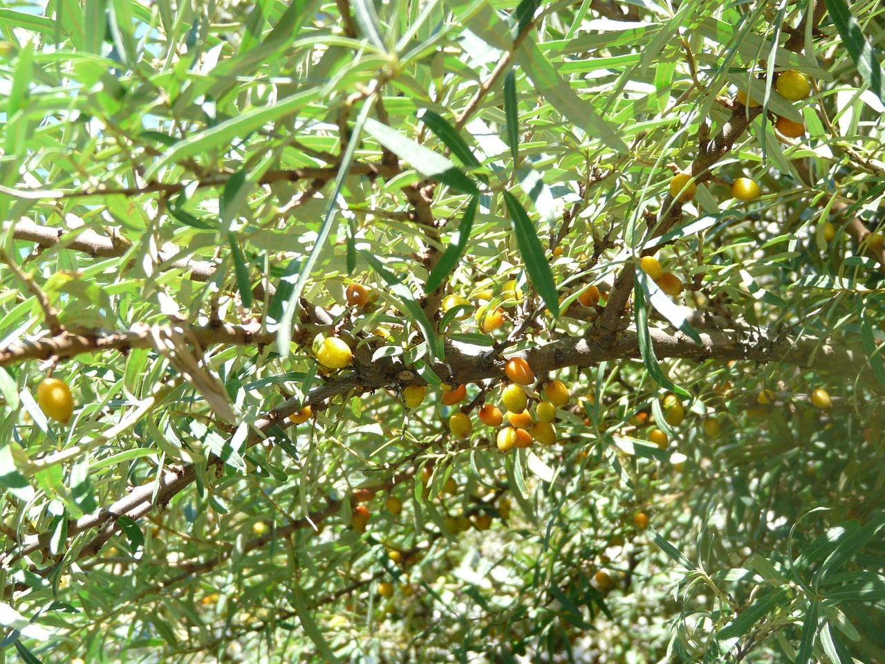 sea buckthorn berries bush free photo