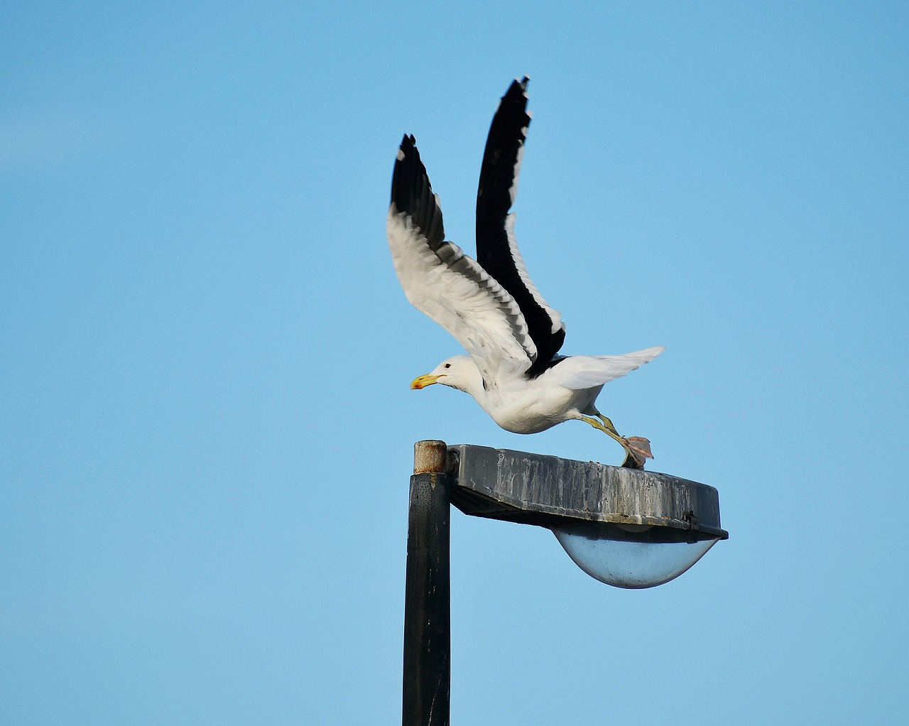 seabird  gull  flight free photo