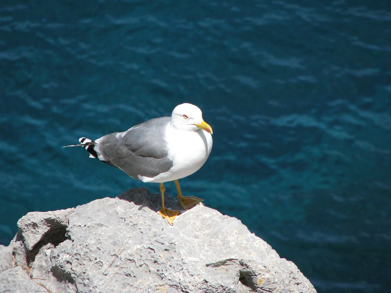 seagull water bird free photo