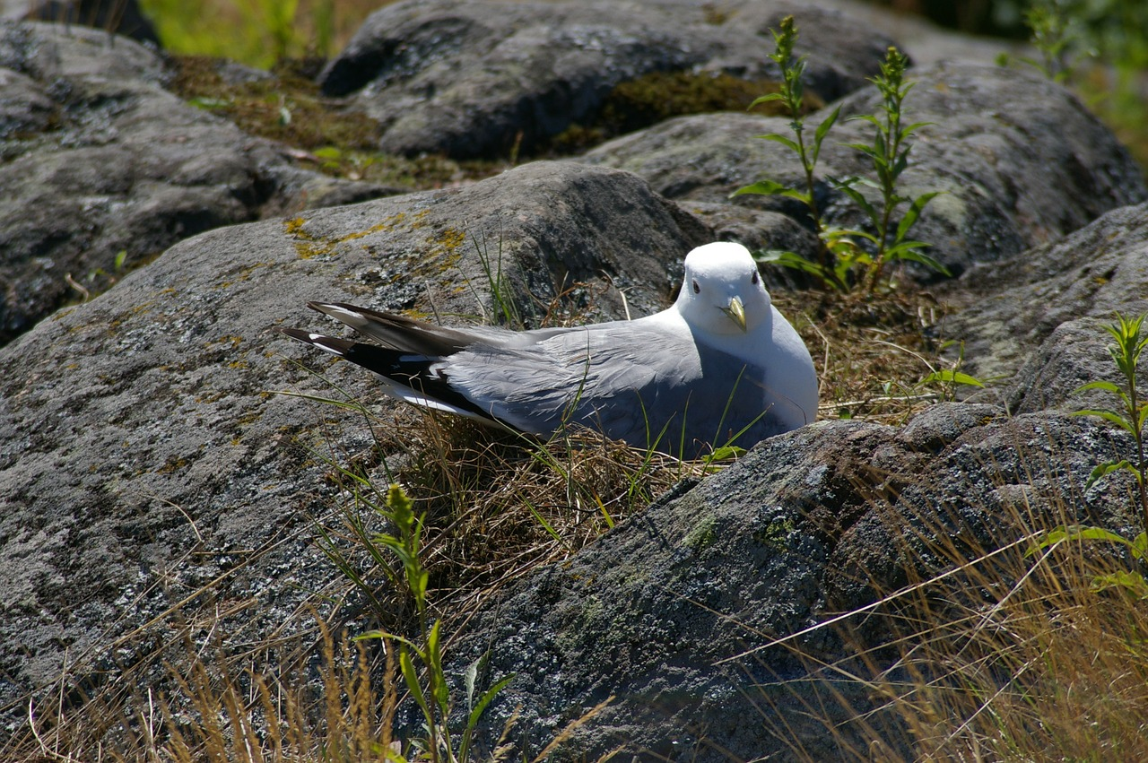 Seagull,nest,sit,cooking up,free pictures - free photo from