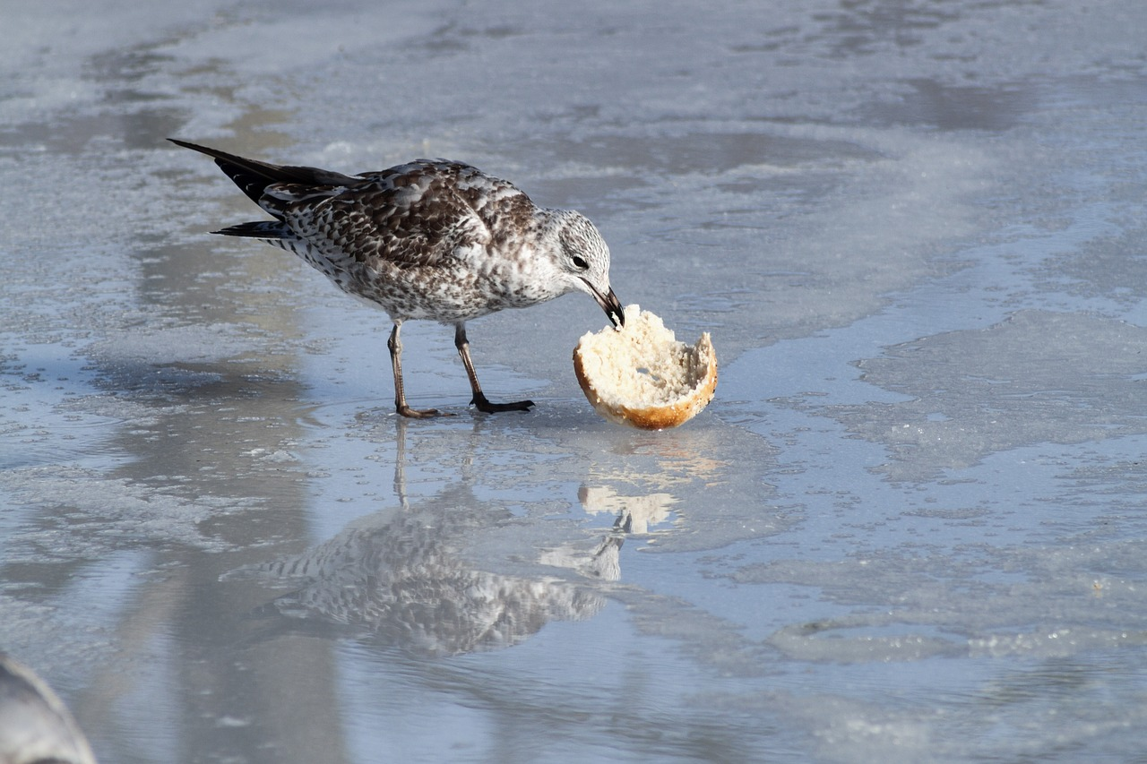 seagull eating ice free photo