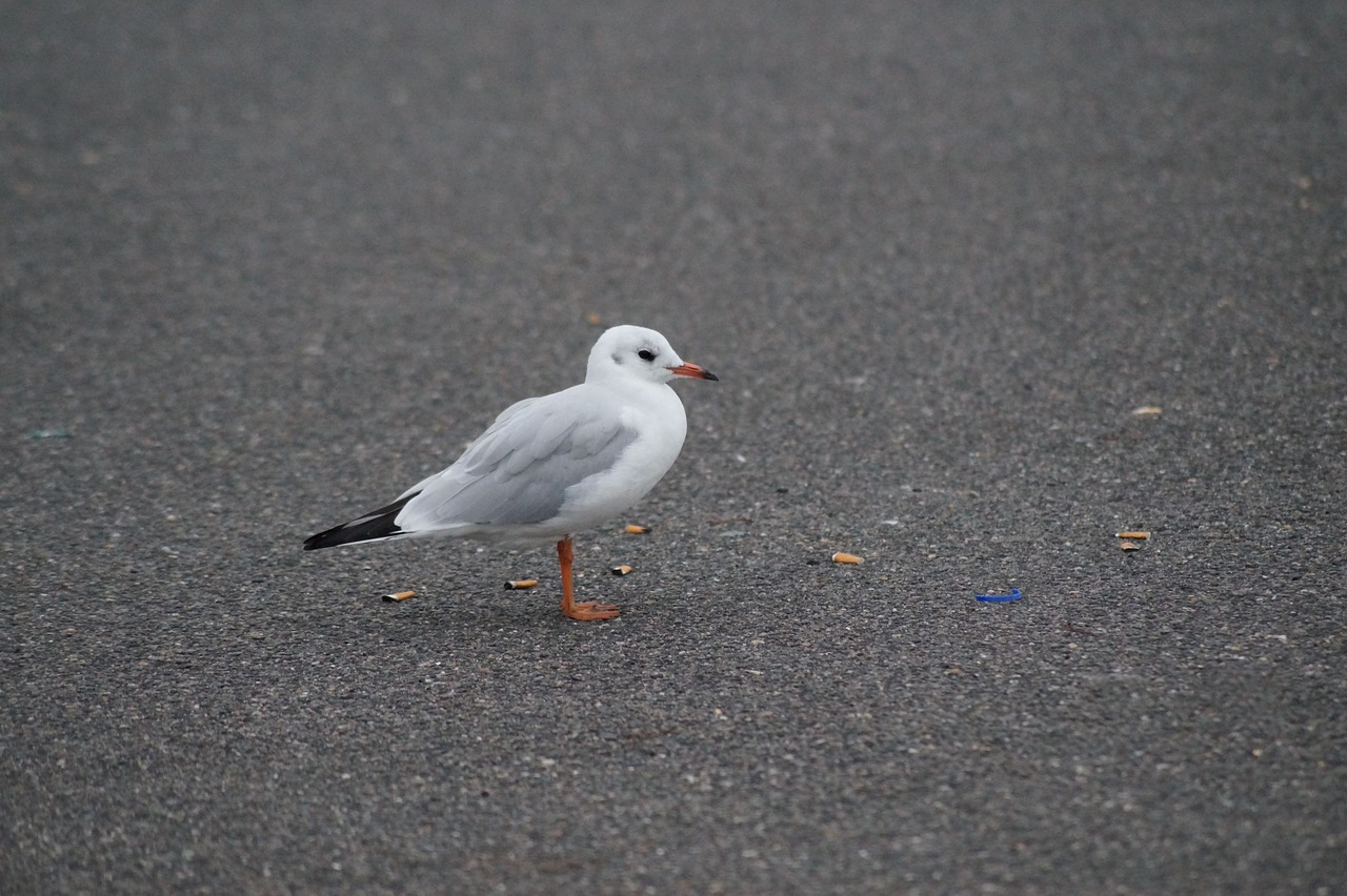 seagull bird foraging free photo