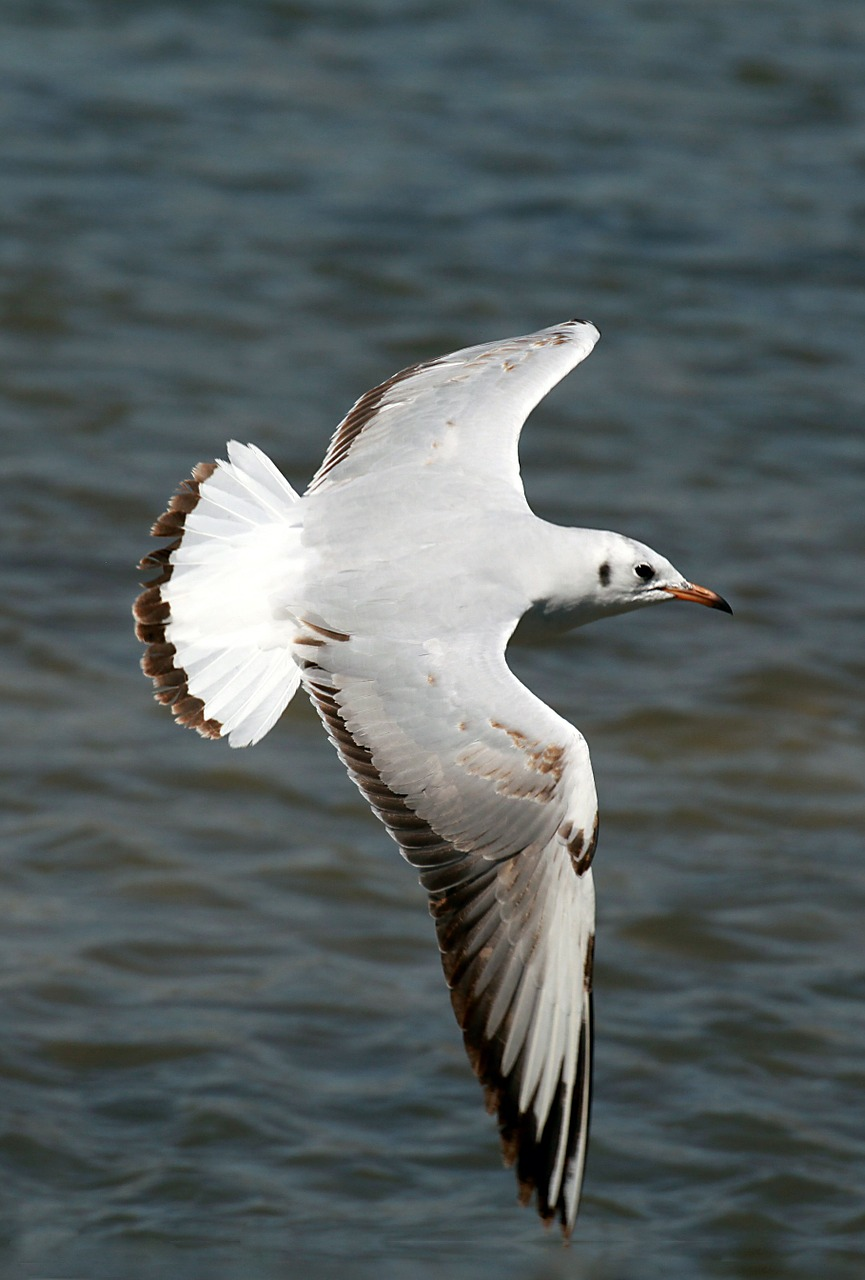 seagull flying bird free photo