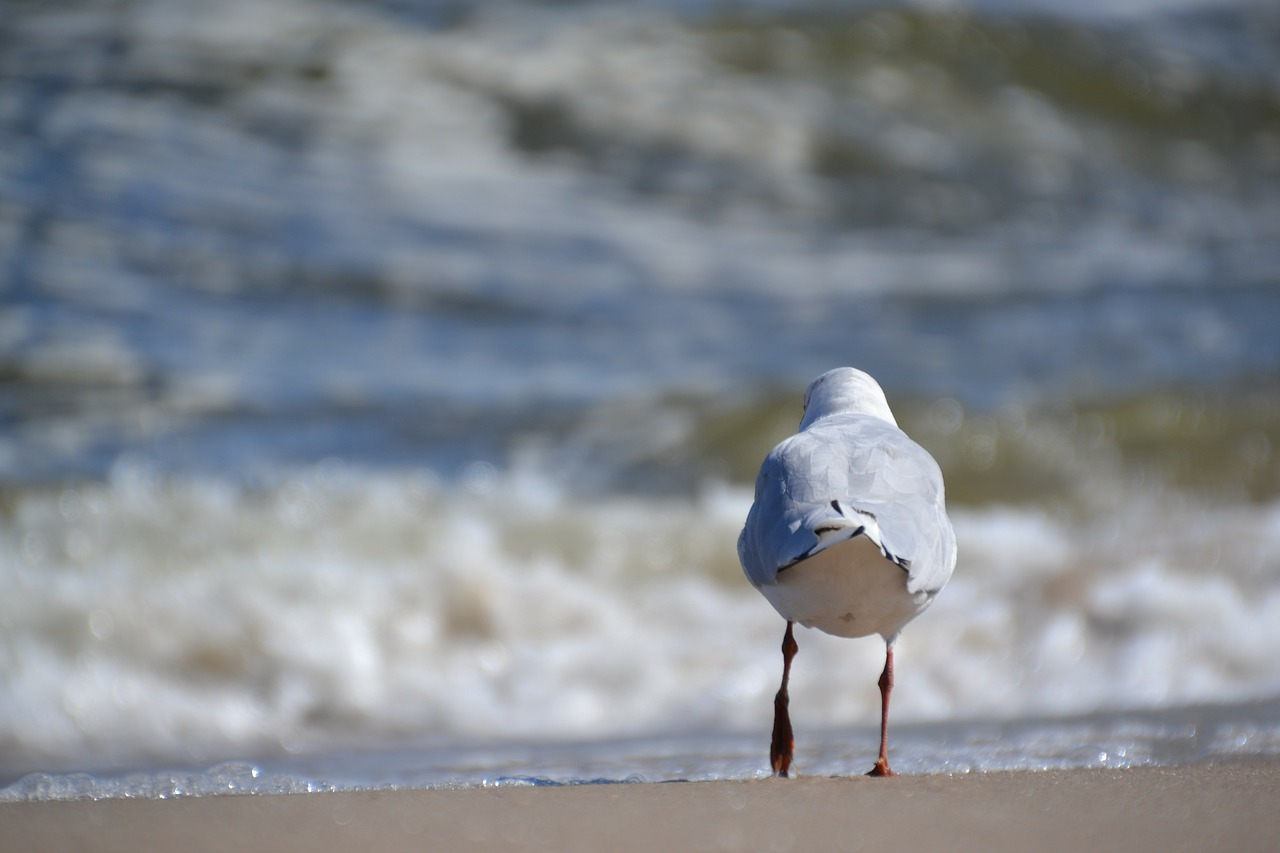 seagull bird sea free photo