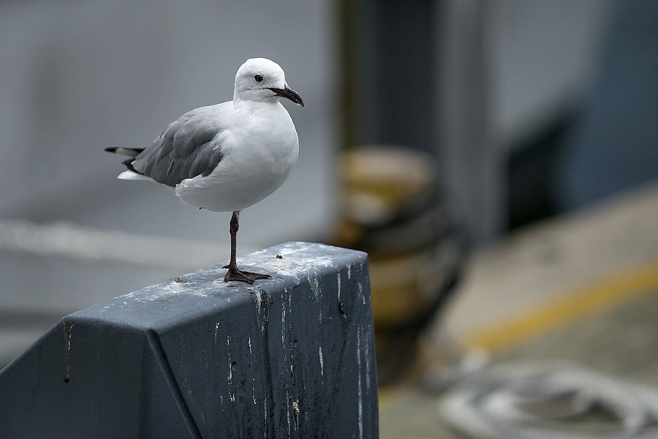seagull bird nature free photo