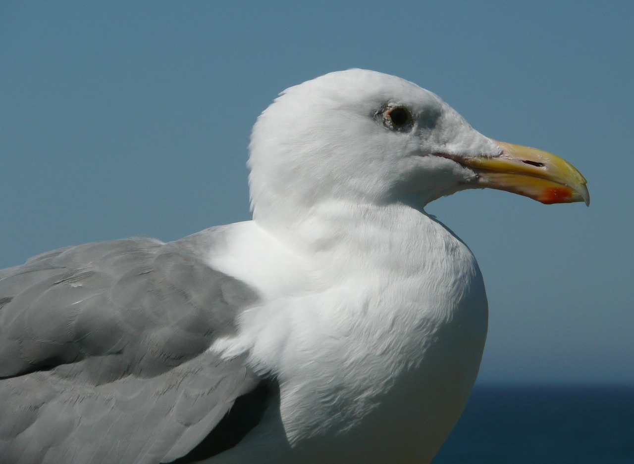 seagull bird waterbird free photo