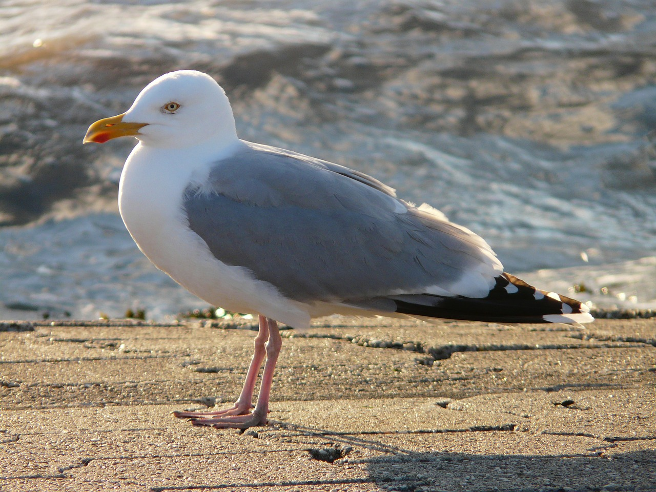 seagull herring gull fluffed up free picture