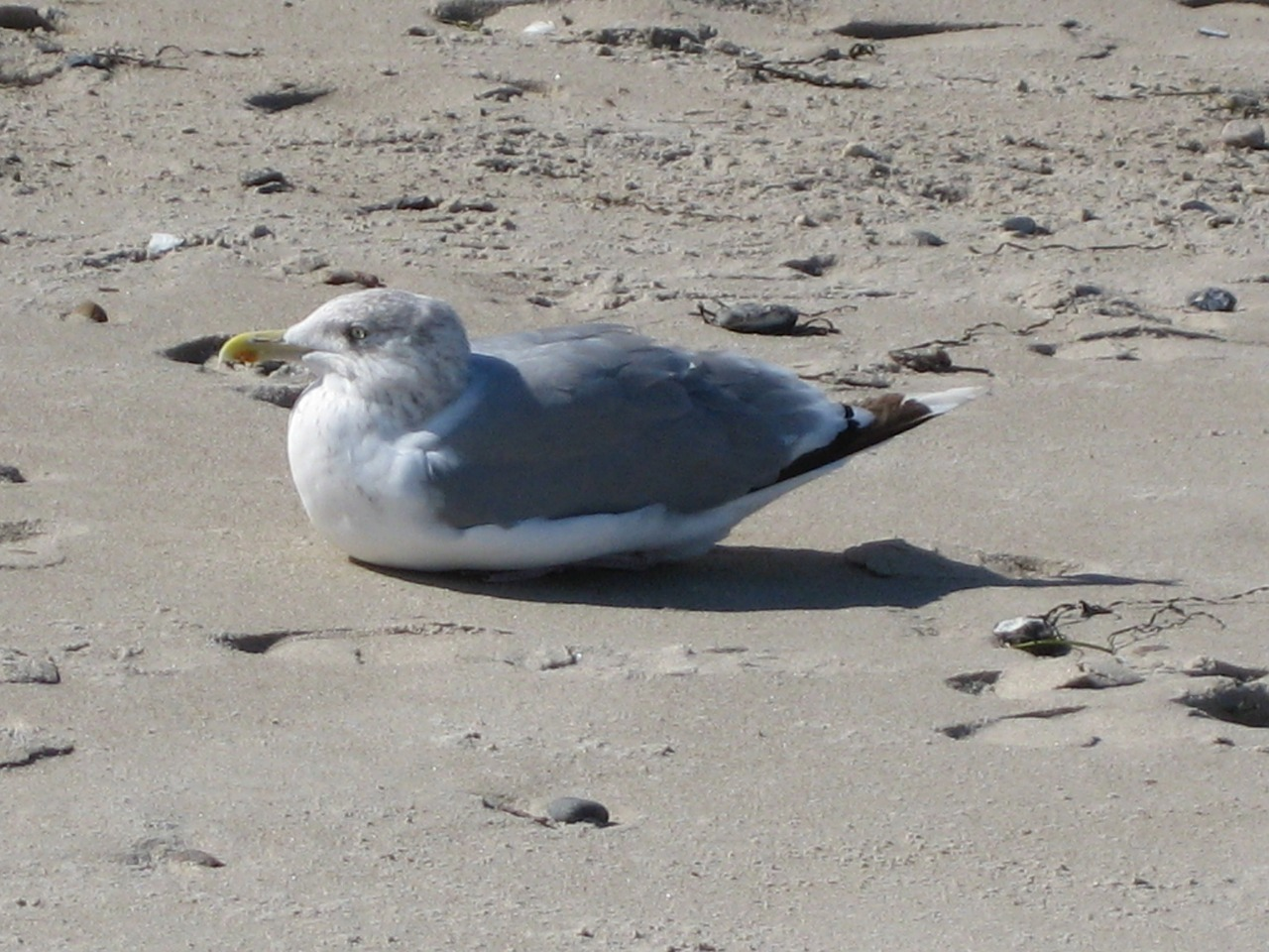 seagull bird sand beach free photo