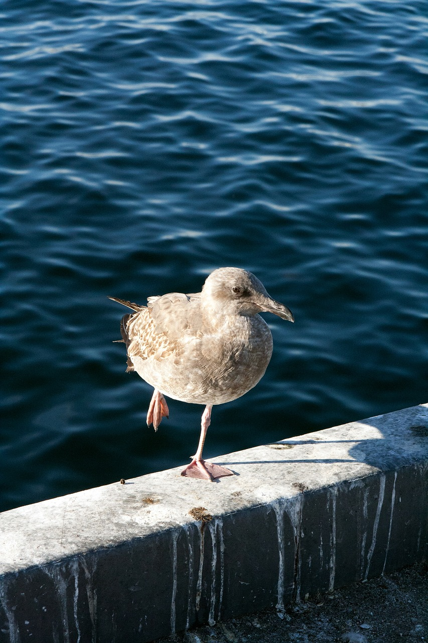 seagull on one leg water free photo