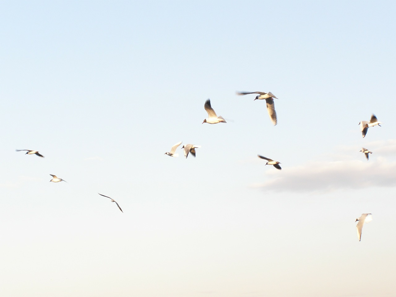 seagulls flying spring free photo