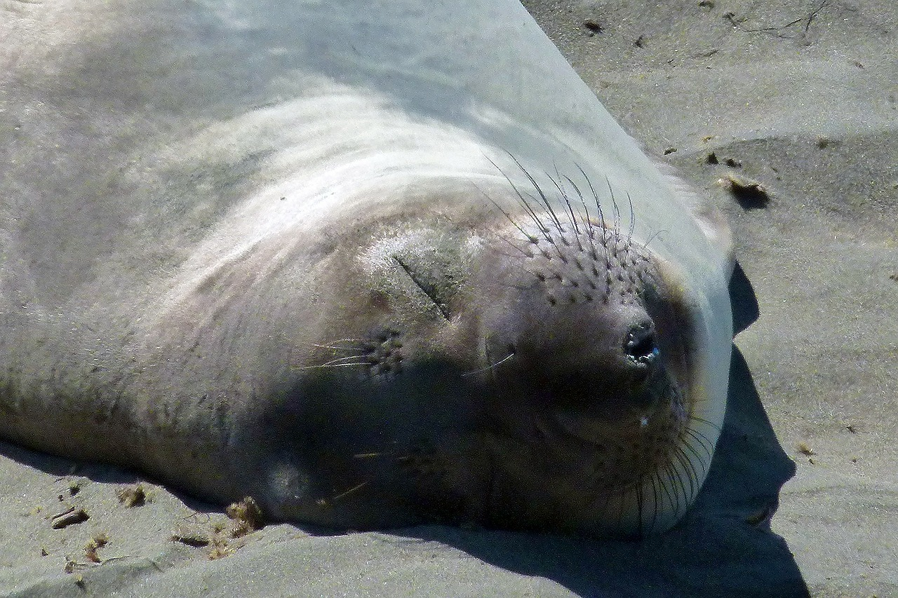 seal sleeping animal free photo