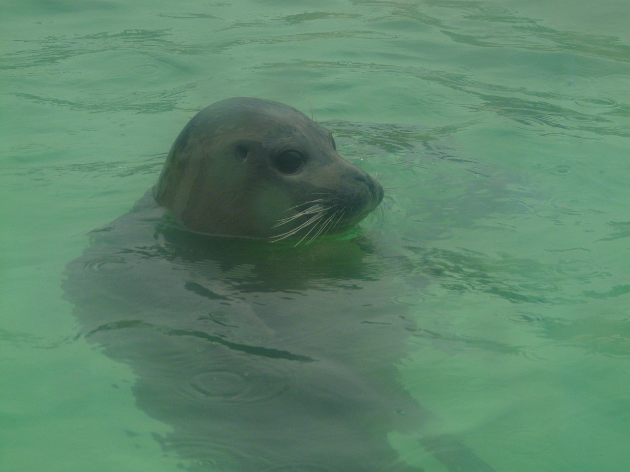 seal phoca vitulina robbe free photo