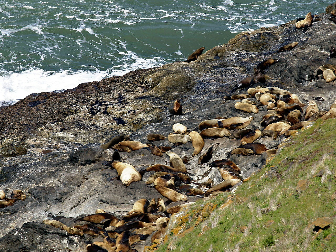 seals animals rocks free photo
