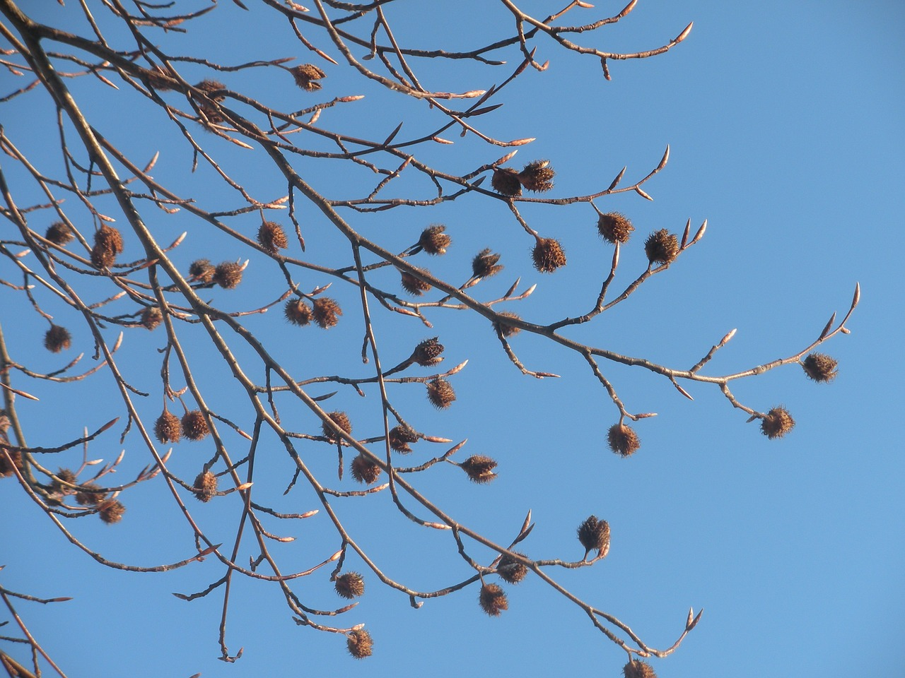 seed pods dried matured free photo