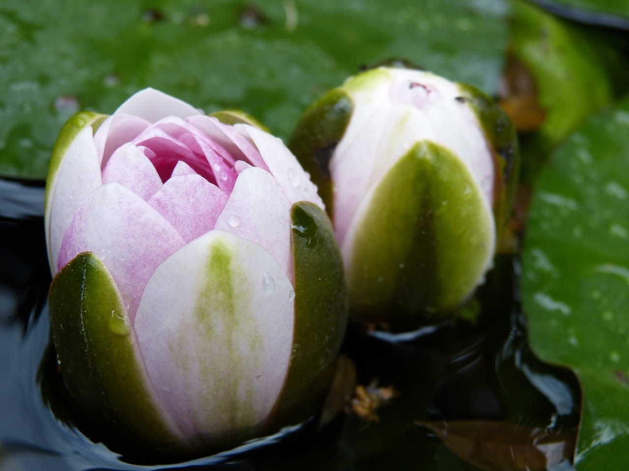 Seerosenblteclosed Flowerpond Flower Free Photo From Needpix