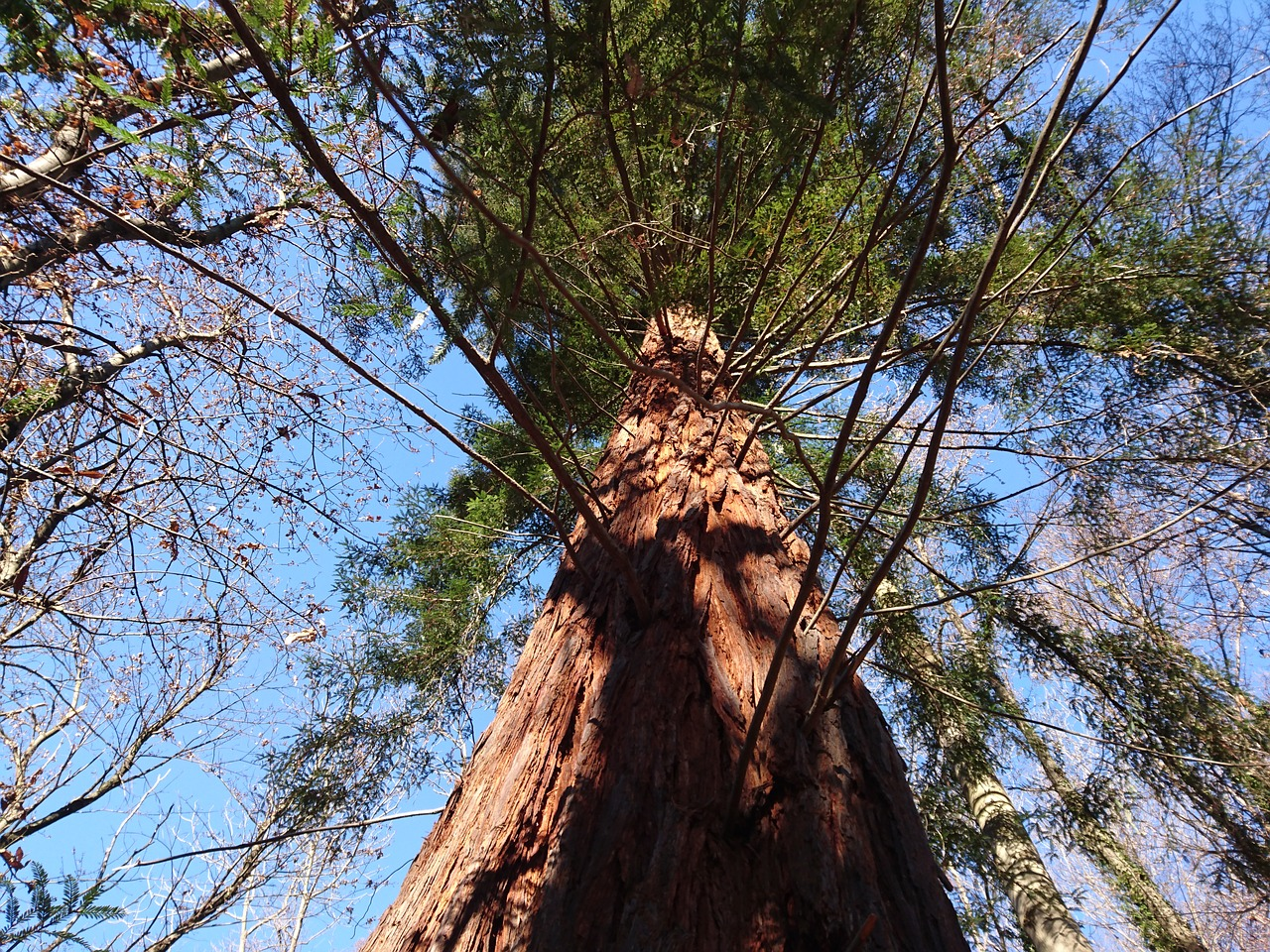 sequoia forest evergreen free photo