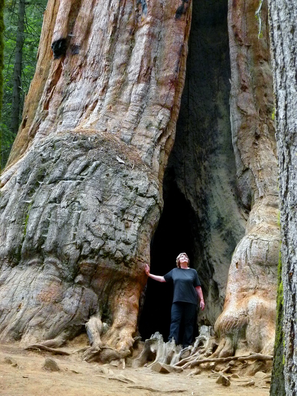 sequoia tree nature tourist attraction free photo