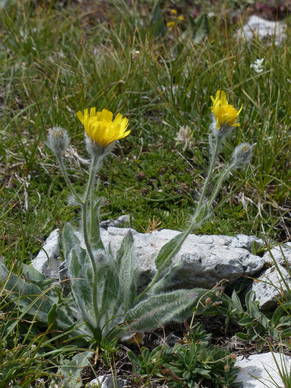 shaggy hawkweed blossom bloom free photo