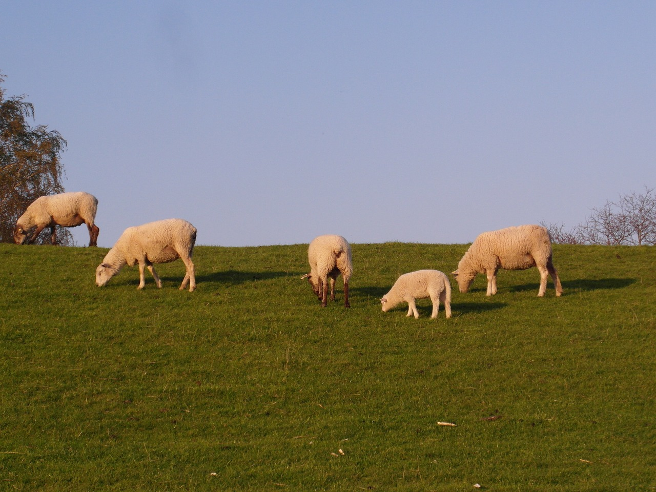 sheep dike elbe free photo