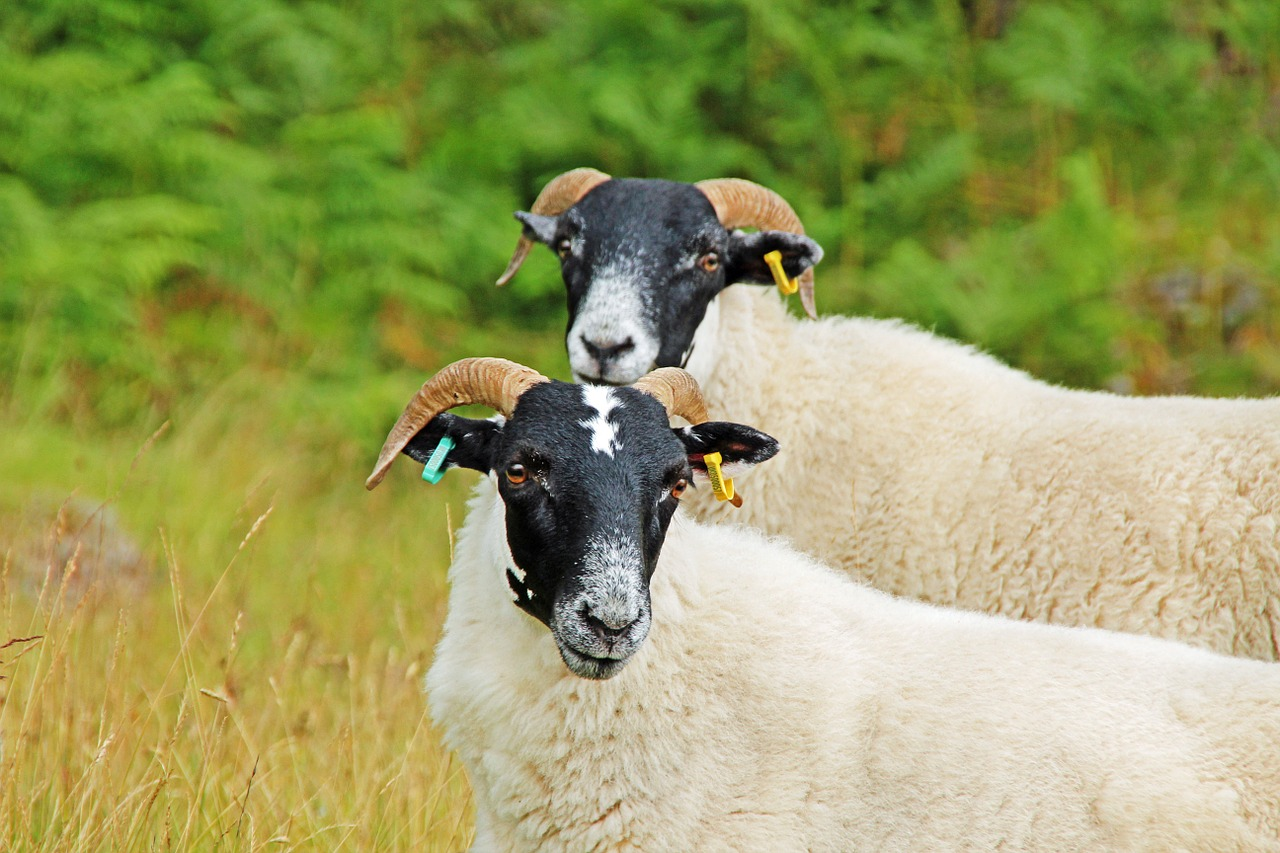 sheep duo scotland free photo