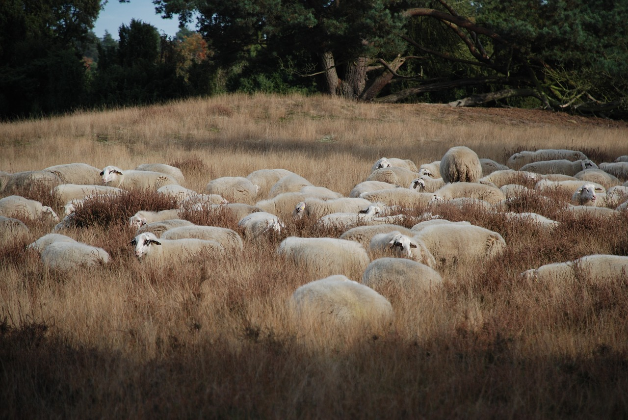 sheep heide flock free photo