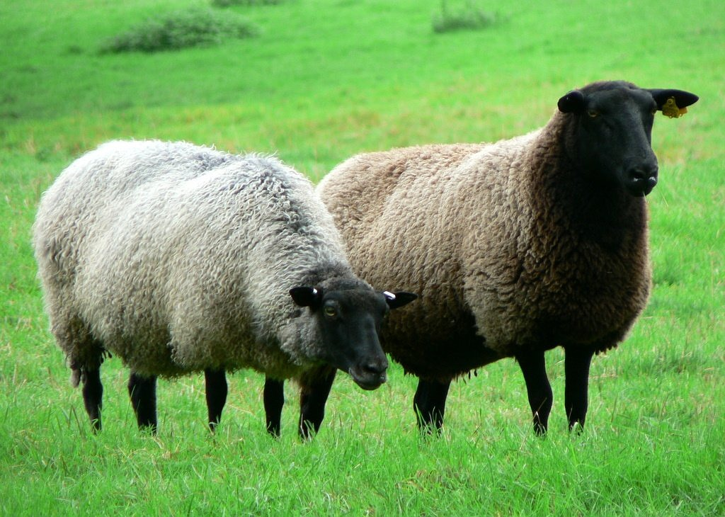 sheep flock alm free picture