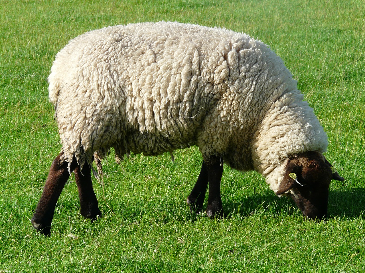 sheep graze wool free photo