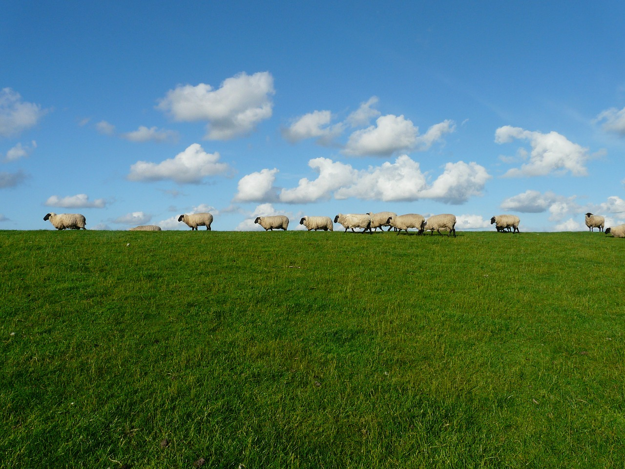 sheep flock of sheep series free photo