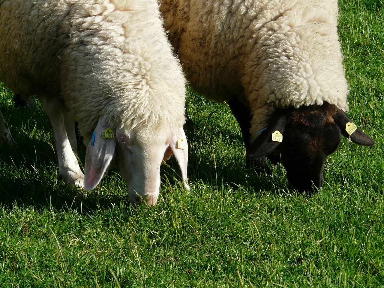 sheep pair black free photo