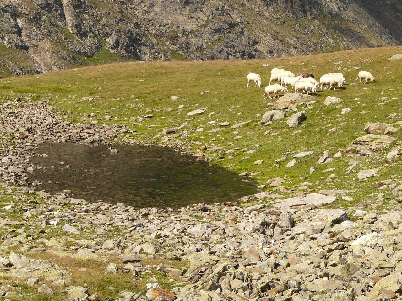 sheep flock of sheep bergsee free photo