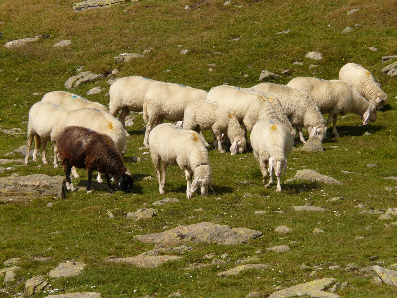 sheep,flock of sheep,flock,free pictures, free photos, free images, royalty free, free illustrations, public domain